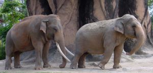 Male and Female Elephants Zoo by Enchantedgal-Stock