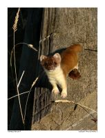 Edison the Ermine II by Foxtography