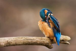 Spring kingfisher by Holasek