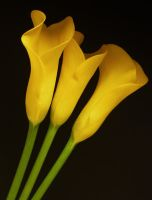 Yellow Calla Lillies by Stolte33