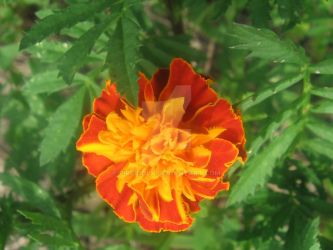 french marigold by pipdiddly