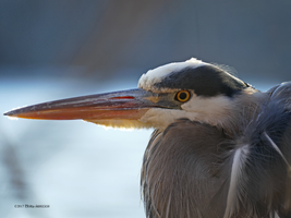 Great Blue Heron Up Close by Mogrianne