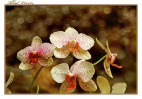 Orchids for Rezzan by ShlomitMessica