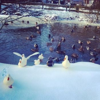 Ducks Part Two 02 by Beziehunqsweise