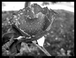 Rainy Day Rose - BW by amiyuy