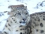 Snow Leopard by Ageira