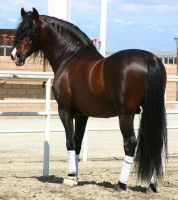 Bay Andalusian Stock1 by Geoera