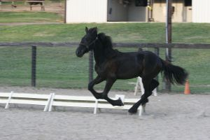 Friesian Sporthorse Yearling at Liberty by HorseStockPhotos