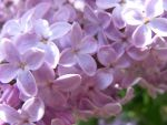 for all lilac lovers by BlueIvyViolet