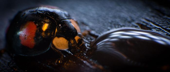Thirsty ladybird by YgsenddPhoto