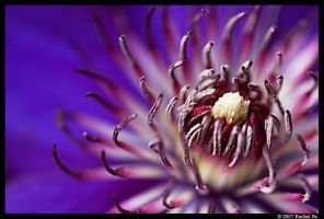 Purple Clematis IV by butterfly36rs