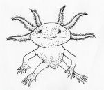 Axolotl by jamsketchbook