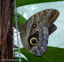 Owl Butterfly by PotionsTeddy