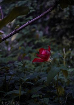 Red Flower by pls258