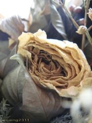 Dry rose not dry Love by pueng2311