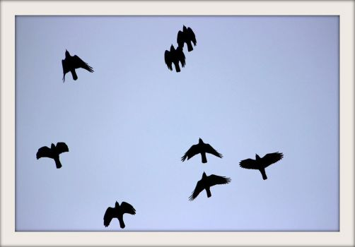 Crows by Hubert11