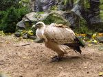 Griffon Vulture - Wings Stock3 by xCrystals