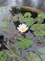 Water lily by Khellendrathas