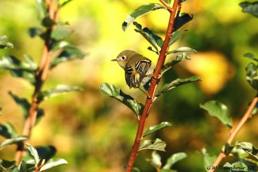Ruby-Crowned Kinglet by natureguy