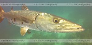 Barracuda by FicktionPhotography