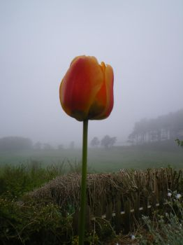 Lonely Misty Tulip by mr-macd