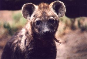 Hyena pup by Illahie
