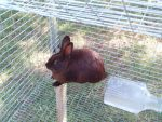 small dk brown rabbit in cage by madetobeunique