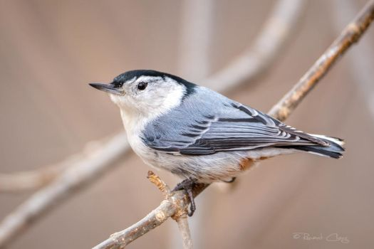.:Nuthatch I:. by RHCheng