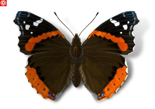 Red Admiral by omnicogni