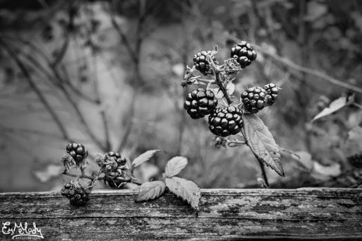 Black Berries by EmMelody