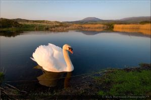 The Swan 153-95 by Haywood-Photography