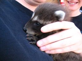 Baby Racoon. by imagine15