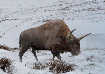 Bison latifrons:The last man standing... by Leogon
