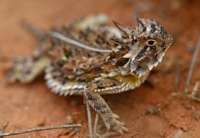 Texas horned lizard by nolra