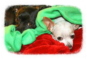 Chihuahua Cherubs by TeaPhotography