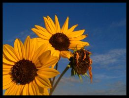 clean sunflowers by vertis