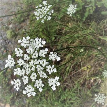 Queen Ann's Lace Growing Wild by Seriridescence