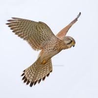 Common Kestrel by Jamie-MacArthur