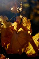 Sunlit Leaves by coffeenoir