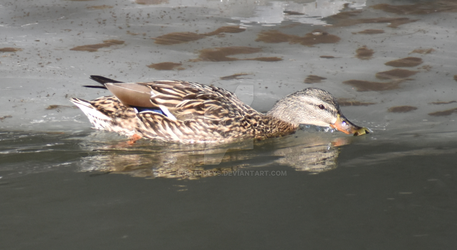 shy female duck by LoliApolys