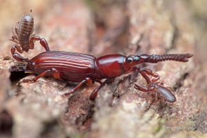 Pseudoscorpion and Weevil by melvynyeo