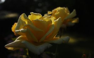 Yellow roses by m-gosia
