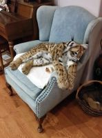 Domestic Eurasian Lynx Plush by TeeganPurrington