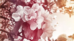 Apple Blossoms by Pajunen