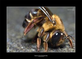 Dance of the Bumble Bee by CIBS