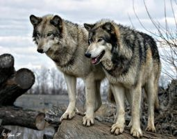 A PAIR OF WOLVES by Yair-Leibovich