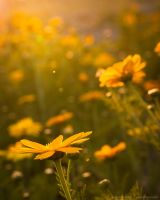 Yellow flowers reaching for yellow light by isotophoto