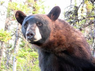 Black bear in the morning by Mika3B