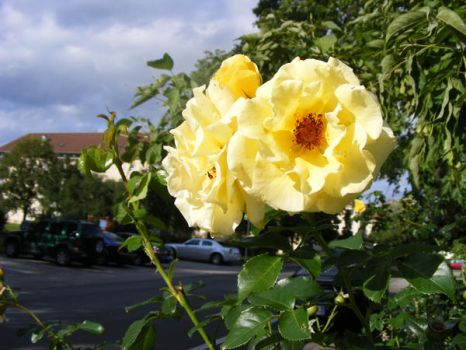 Roses-yellow by pixi152