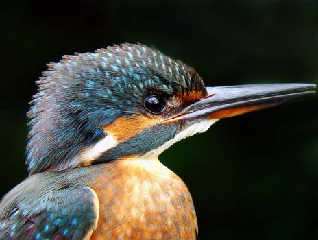 Alcedo atthis by blue5K